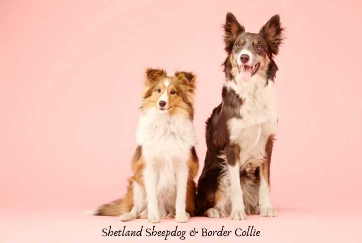 Shetland Sheep dog with Collie on pink background