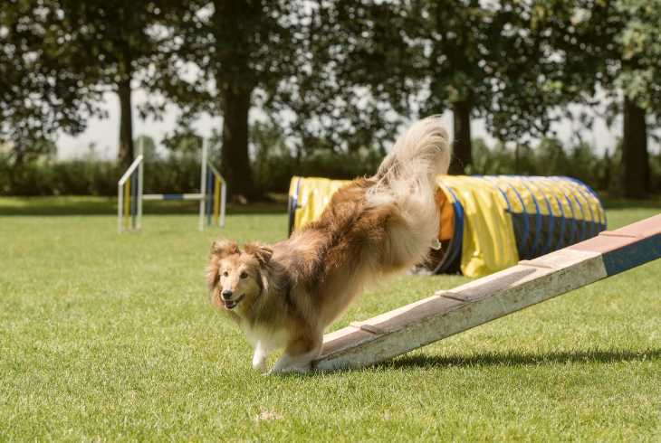 Sheltie in agility training