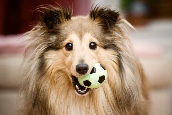 Sheltie with ball in its mouth