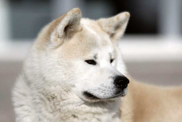 Akita dog in molting season