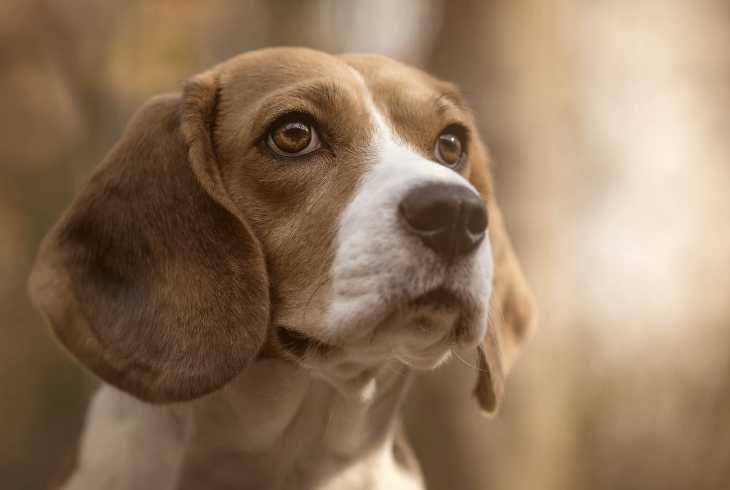 Beagle dog who is a high shedding breed