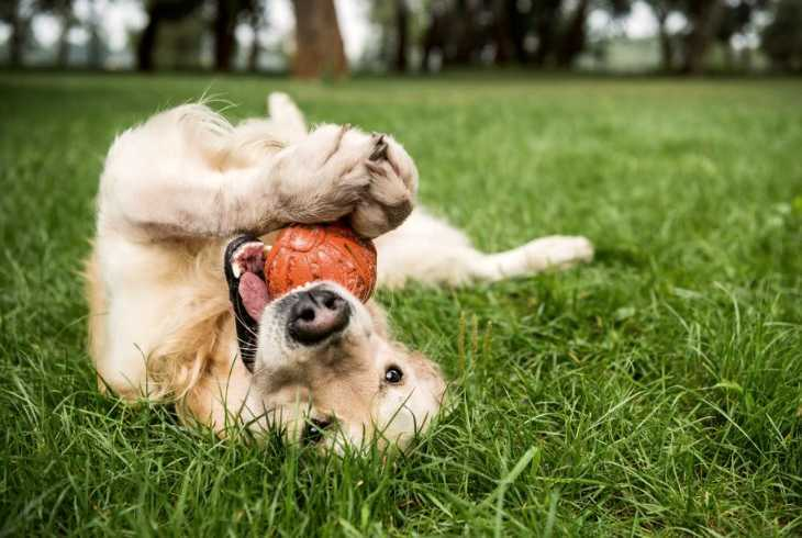 Puppy laying in the grass with orange ball in mouth