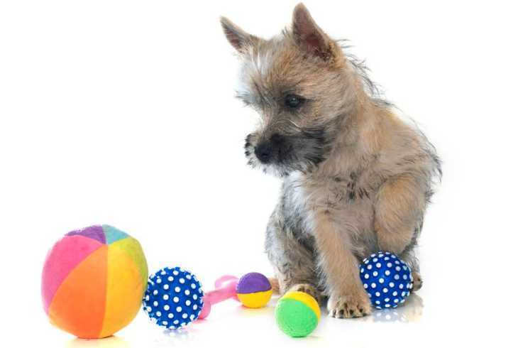 Cairn Terrier with toys to play fetch on white background