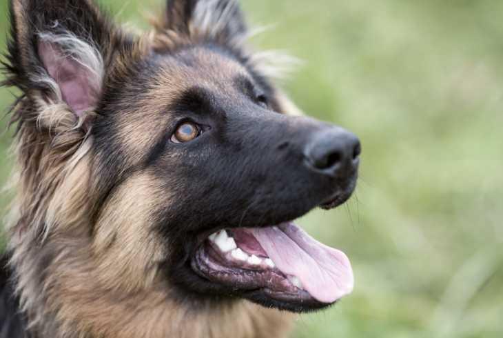German Shepherd looking at the camera
