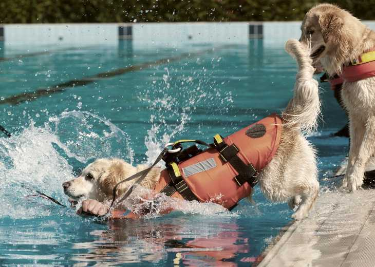 Labs training to be lifeguards