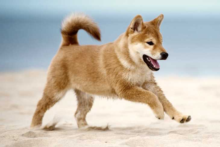 Shiba Inu is the third highest shedding dog breed