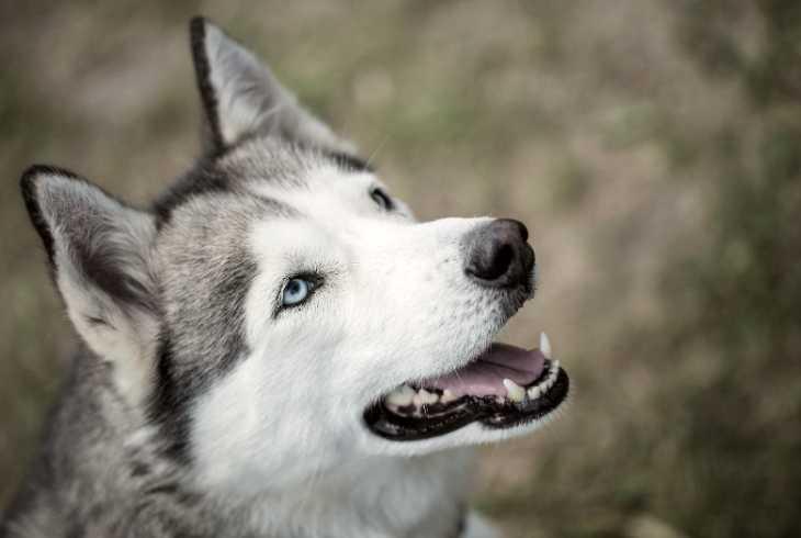 Siberian Husky looking at the camera