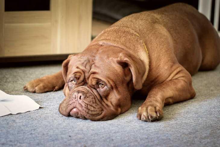 Lazy dog laying on vinyl floor