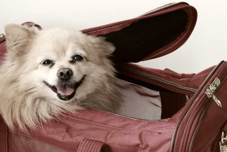 Cute dog ready for a plane ride