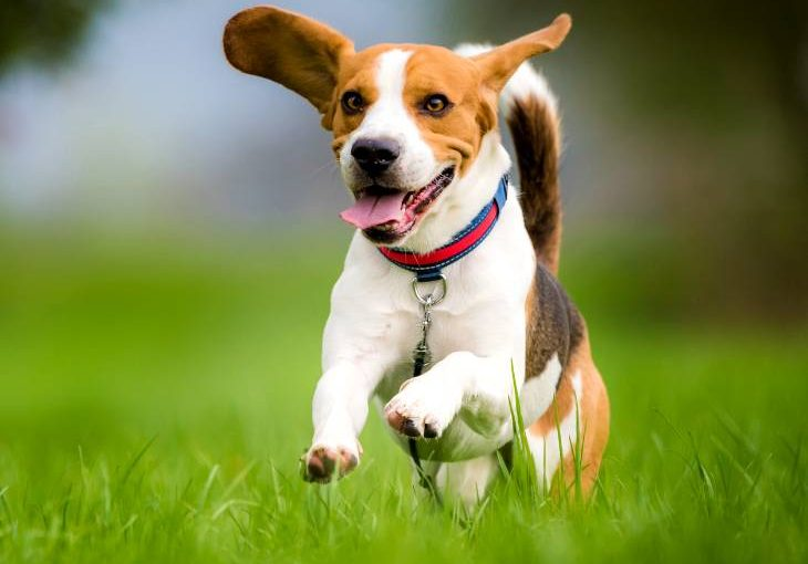 Beagle running in grass