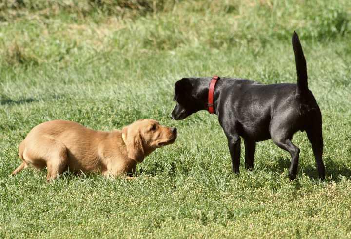 Timid dog meeting aggressive dog