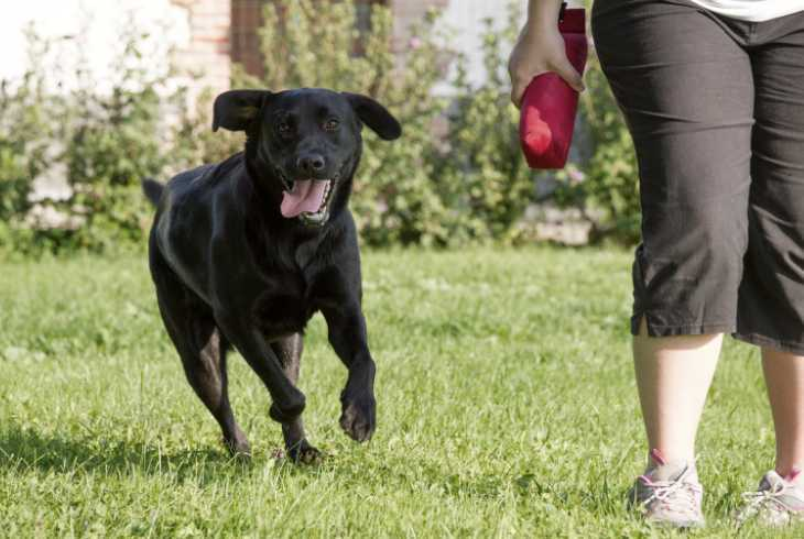 Black Labrador Retriever running with owner