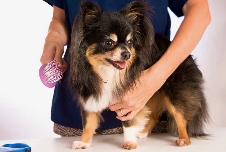 Hands brushing long haired chihuahua