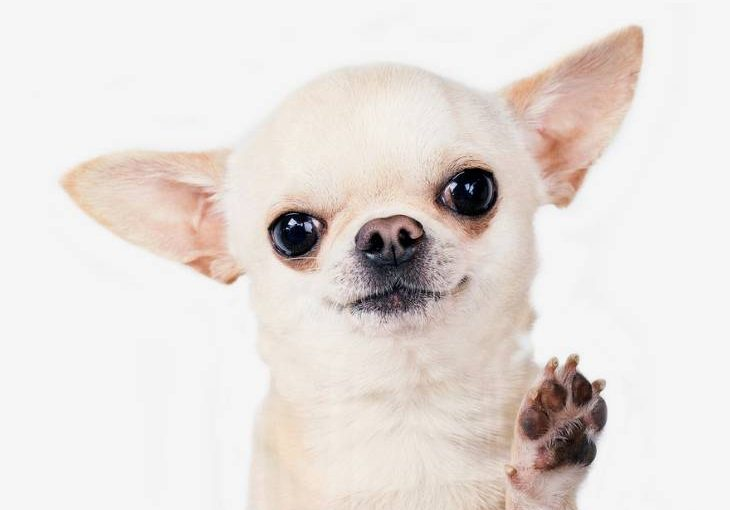 Chihuahua Breed Overview