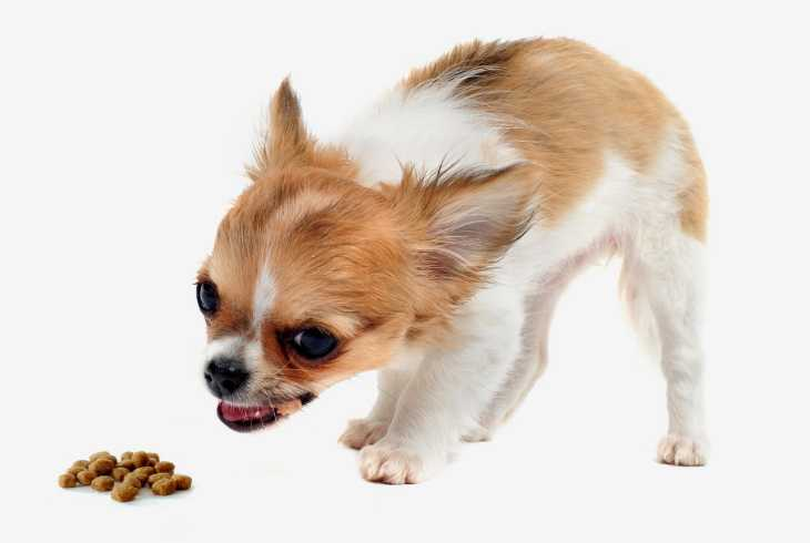Chihuahua eating dry dog food
