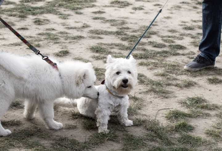 Two leashed dogs meeting