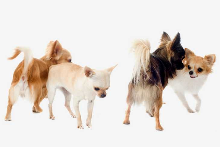 Four different color chihuahuas on white background