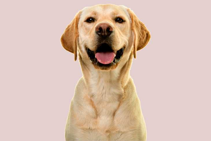 Yellow Lab smiling on pink background