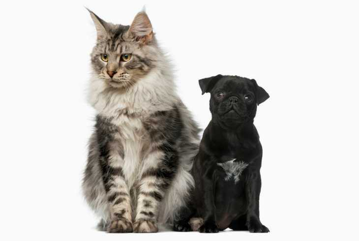 Maine Coon cat and Pug puppy on white background