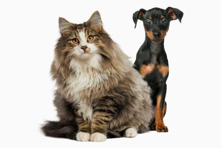 Norwegian Forest cat with young pup on white background
