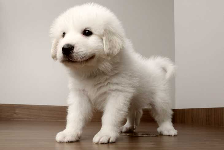 Great Pyrenees puppy peeing on floor