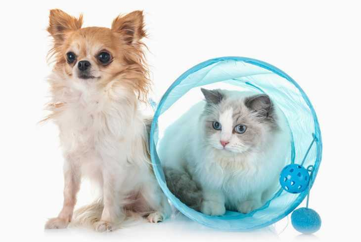 Ragdoll cat and Chihuahua on white background