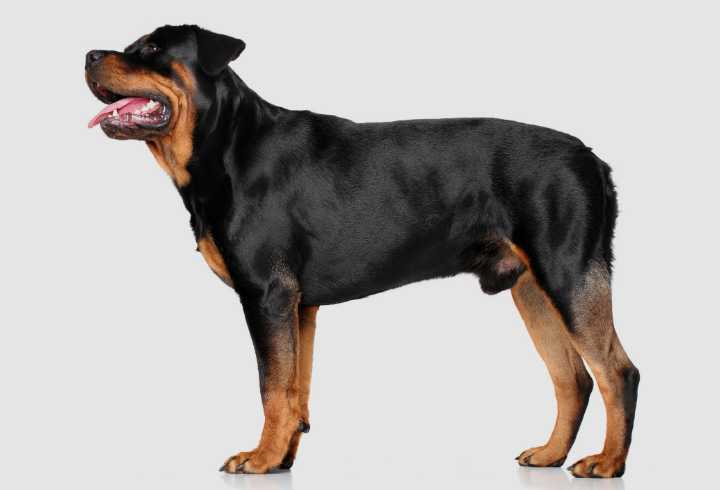 Male full grown Rottweiler
