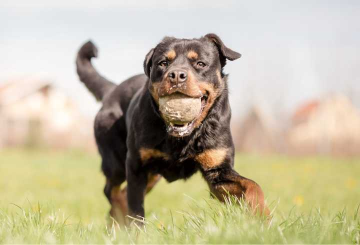Rottie playing ball in the backyard
