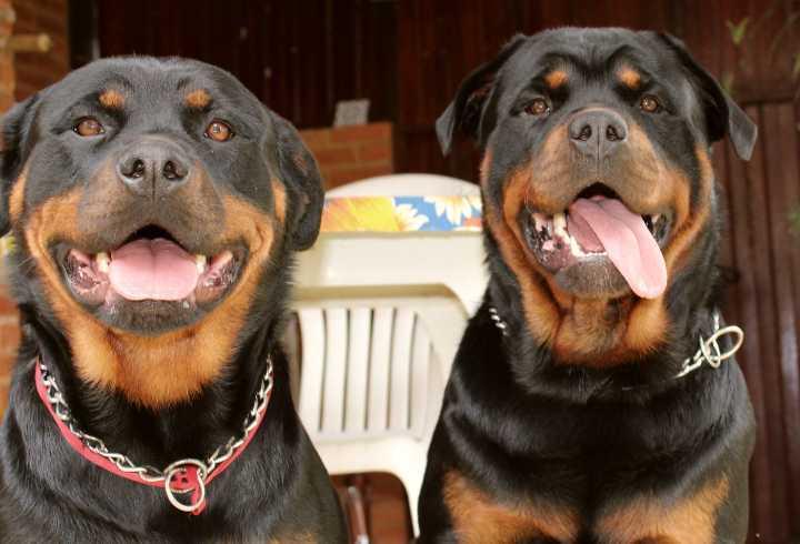 Two very happy Rotties