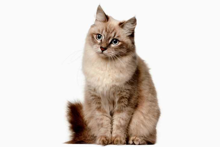 Siberian cat sitting on white background