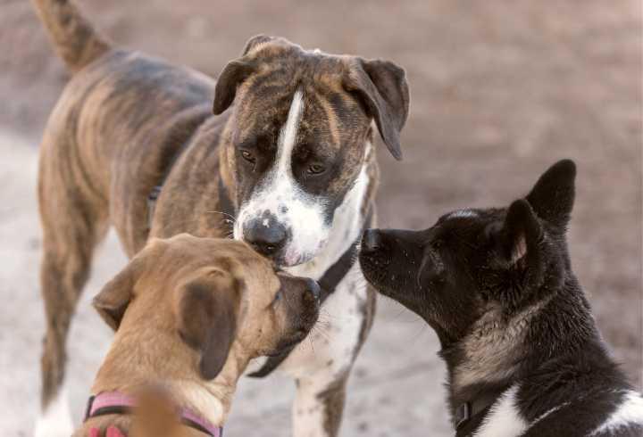 Three dogs socializing