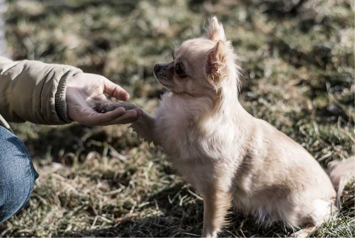 Hand training Chihuahua to shake hands