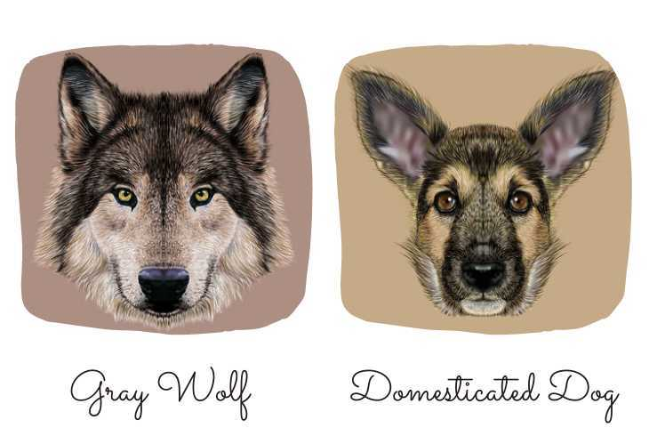 Gray wolf and domesticated dog illustrations