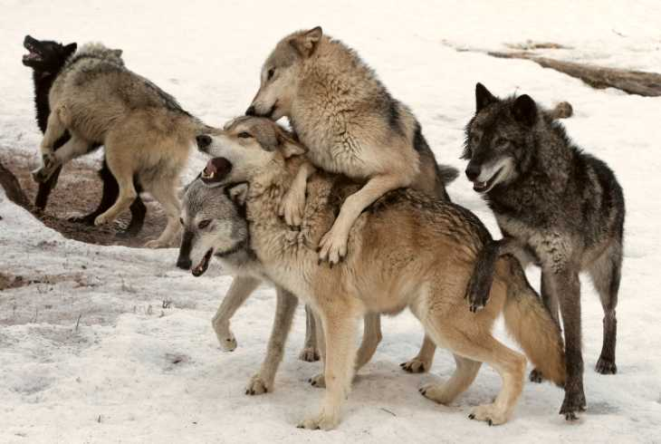 Wolf pack playing in the snow