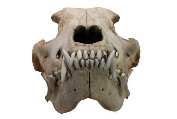 The ancient skull of a wolf on a white background