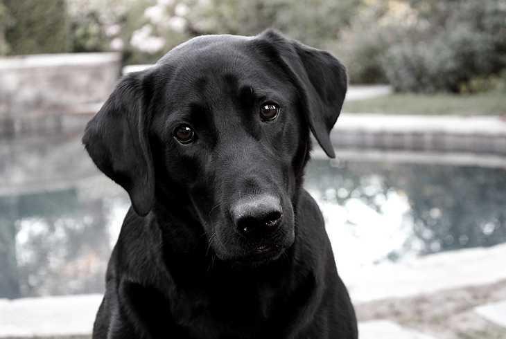 Smart looking black lab dog