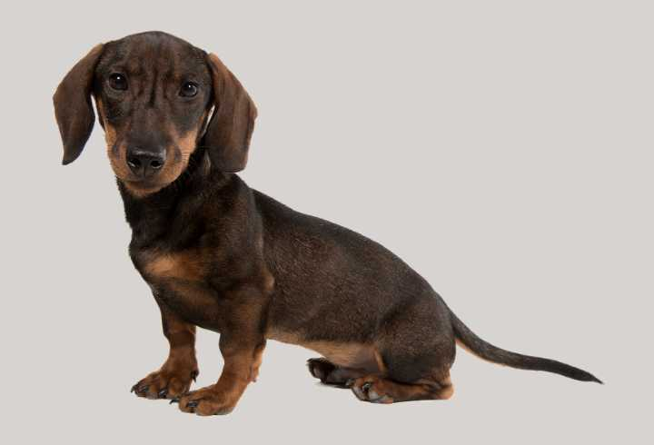 Smooth haired Dachshund