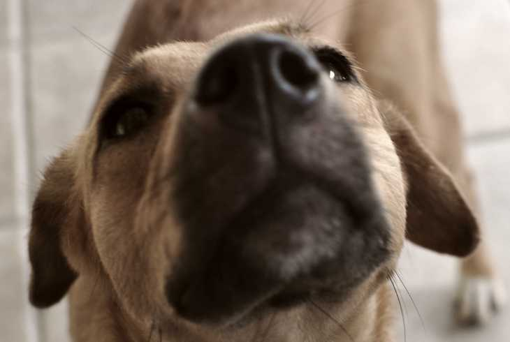 Closeup of cancer sniffing dog