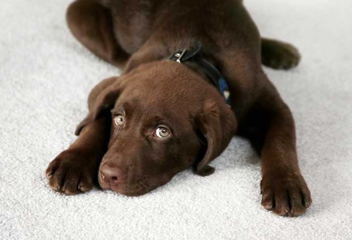 A bored chocolate lab puppy