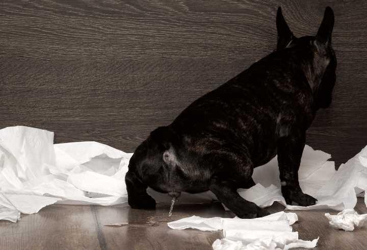 Older dog peeing on floor in corner
