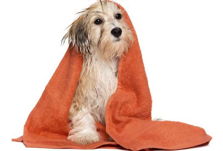 Dog drying of after bath with orange towel