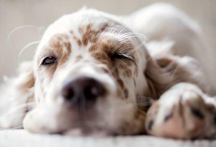Cute dog sleeping with one eye open