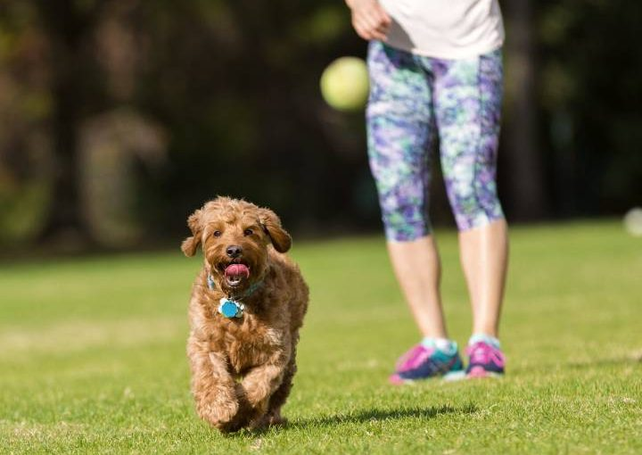 Miniature Goldendoodle training with owner