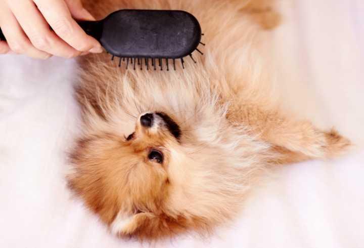 Hand brushing her Pomeranian
