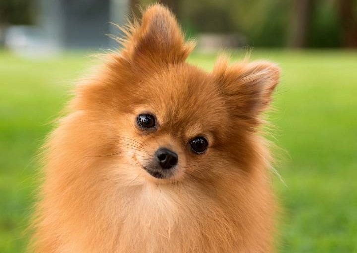 Pomeranian looking cute