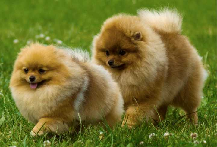 Two Poms running in the grass
