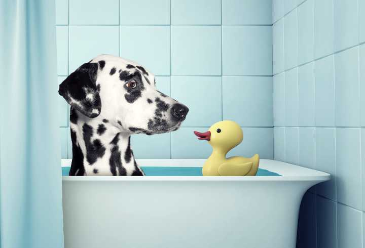 Dalmatian dog in tub with a rubber-ducky