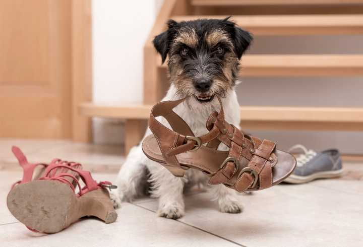 Jack Russell Terrier chewing shoes