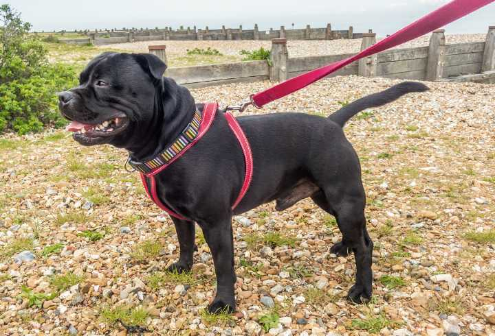 Staffordshire Bull Terrier wearing a pink harness