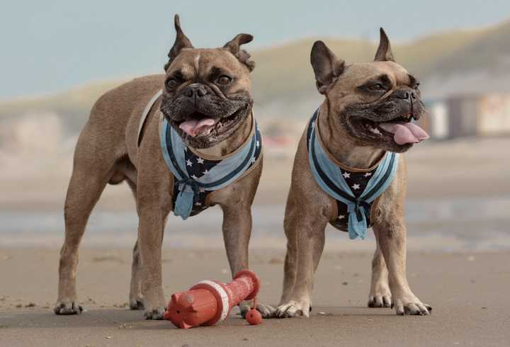 Two French bulldogs wearing sailor style harness on the beach